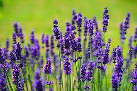 lavender-1117275__180