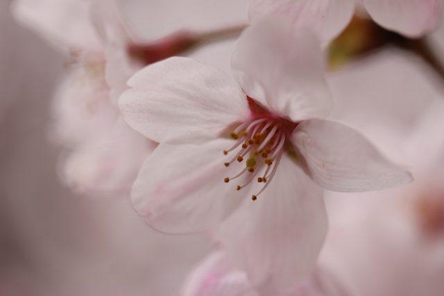 梅 桃 桜 見分け方