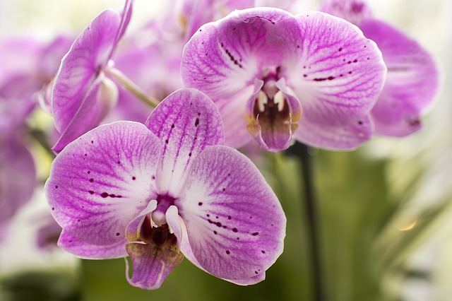 purple-moth-orchids-1340673_640