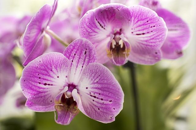 purple-moth-orchids-1340673_640