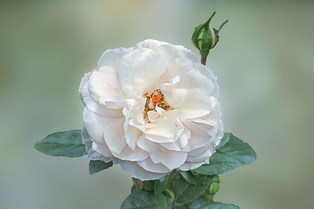 rose-1676150_640